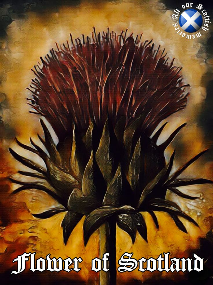 The Thistle Flower of Scotland Scottish culture