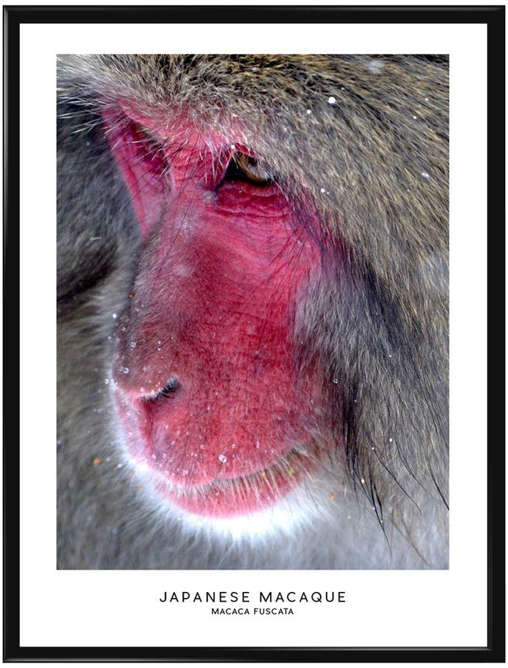 Japansk Makak eller snöapan är den apa som har den nordligaste utbredningen av…