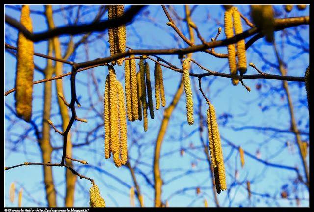 Betulla amenti - photographic processing (285) - fiori di betulla - pianta caratteristica di zone poco fertili o non coltivabili (es. greti di torrenti) ...