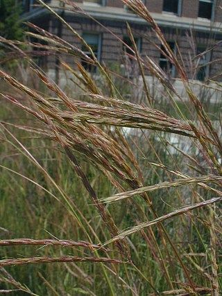 Andropogon gerardii native plants for pennsylvania for Ornamental grasses that stay green all year
