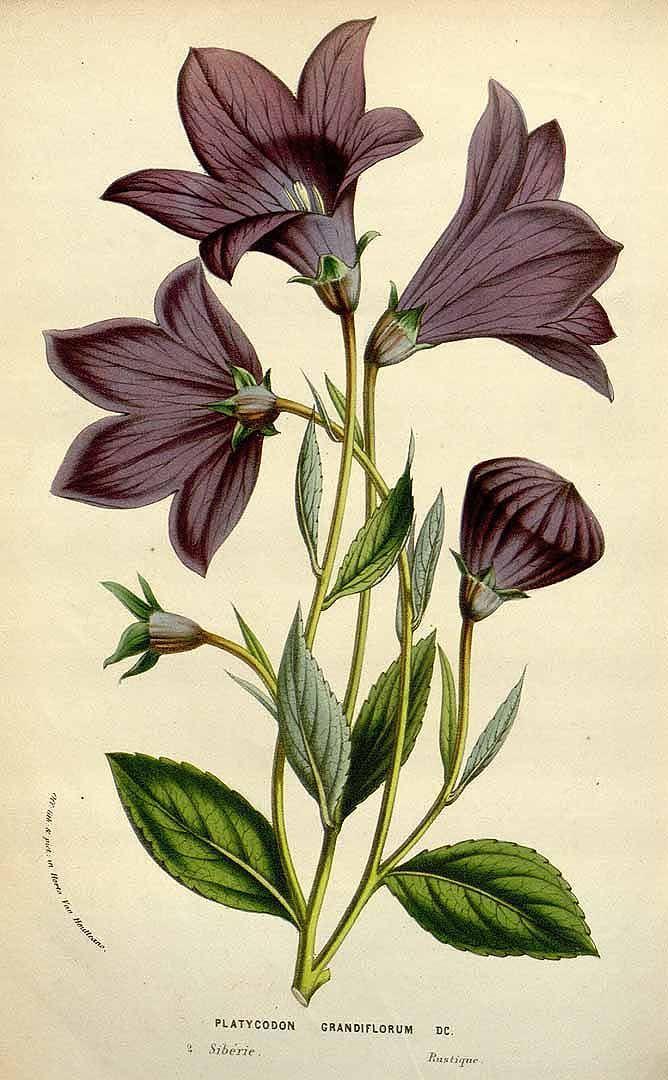 Platycodon grandiflorus - circa 1845