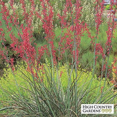 22 best landscaping images on pinterest high country gardens texas red yucca is one of our very best drought tolerant flowering succulents in early summer the plant push tall spikes of reddish pink flowers that mightylinksfo