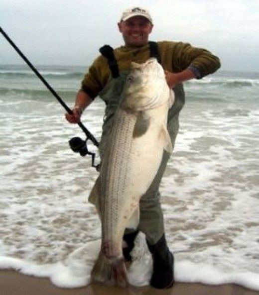 Tips on surf fishing. Monsters in the surf!  A 55-pound striped bass.