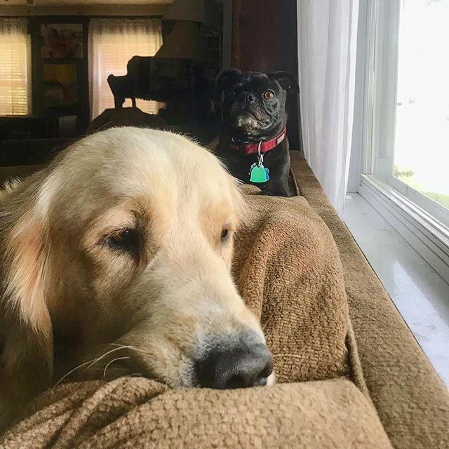 Golden Retriever Puppy With Boston Terrier And Pug Mix Looking Out