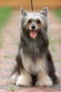 http://dog.pet2me.com/upload/breed/sm/2011_03_af5ef.jpg
