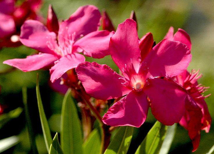 Les 25 meilleures id es concernant laurier rose sur pinterest entretien laurier rose - Quand tailler les lauriers roses ...