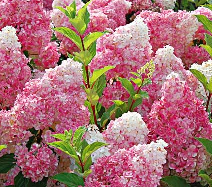 Vanilla Strawberry hydrangea -- a great dessert for the garden! From White