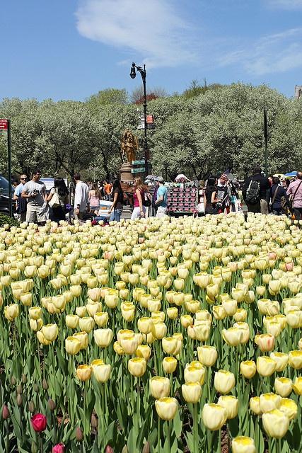 Spring Scene , Tulips  at Grand Army Plaza in NYC via flickr