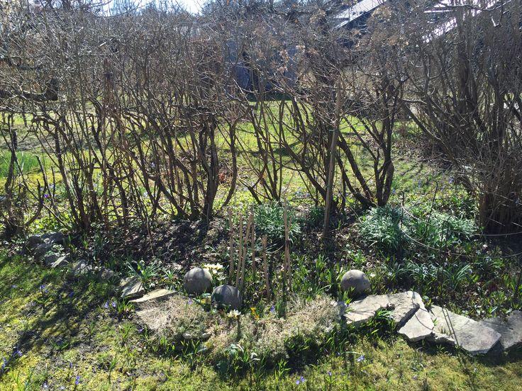 Plantera buxbom-klot på flera ställen. Murgröna som tål vinter och vita vårlökar i olika höjder