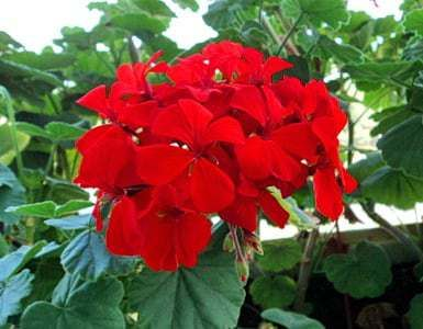 Цветет красная герань