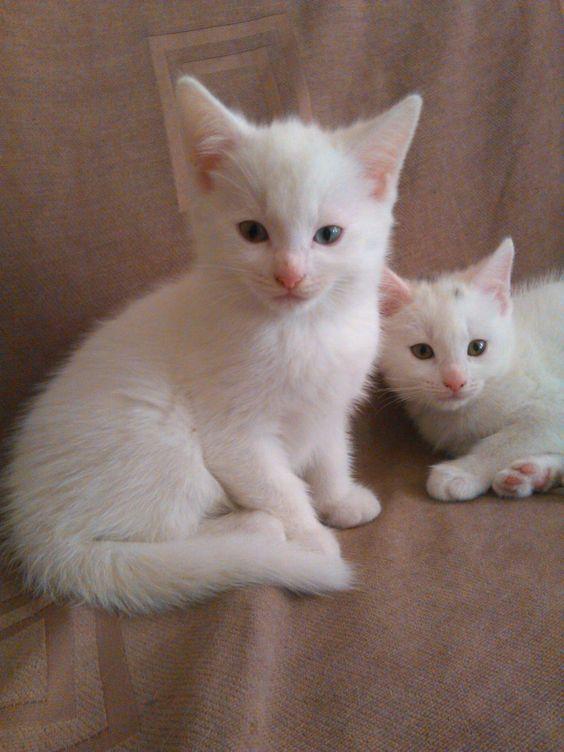 17a8f30009 Lovely white kittens!