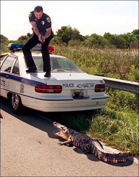 cops get scared to - pigsarefunny.com