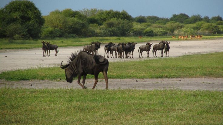 Blue wildebeest exploring the runway at Haina #wildebeest #Haina #Kalahari