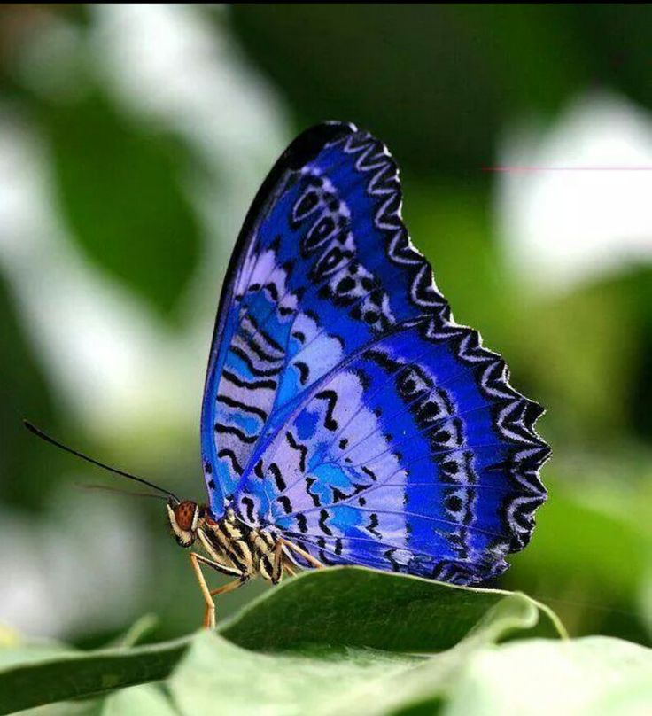 Koningsblauwe vlinder