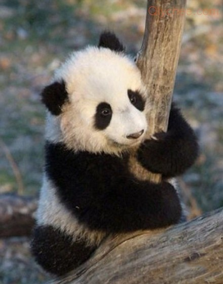 118 best images about Giant Panda on Pinterest | Panda ...