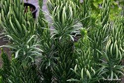 Cephalotaxus harringtonia 'Fastigiata' - Hess Landscape Nursery - Finleyville, Pennsylvania