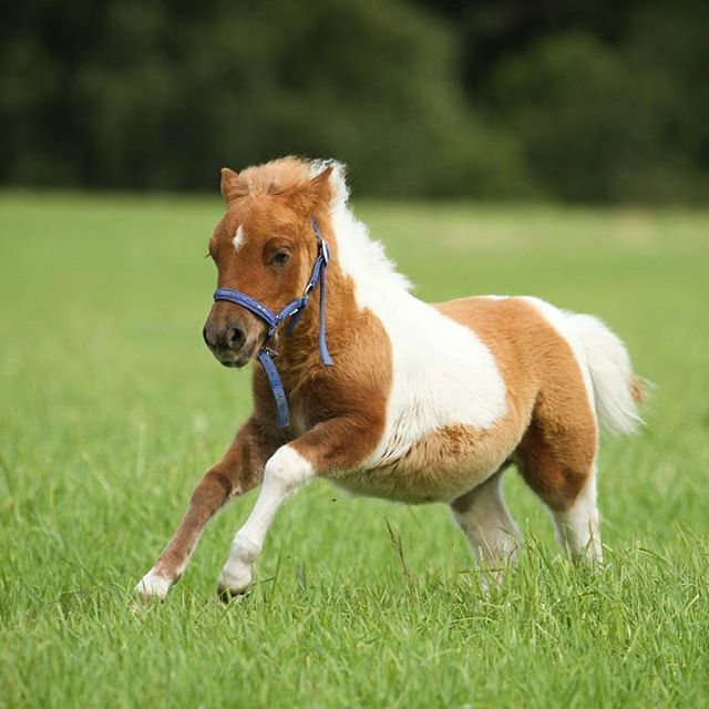 #shetlanninponi #varsa #kirjava #laukkaa #hevoset #ponit #shetland #shetlandpony #foal #gallop #horses #ponies #hevosvalokuvaus #horsephotography #equinephotography #bestofequines #boeunder3k #featuremesophie #_eurepferdebilder_ #epb_post #pferdepost_123 #horsefun_feature #wtkaction #suvinnet