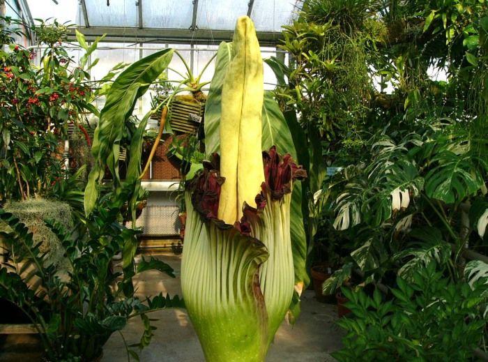 Аморфофаллус титанический  Аморфофаллус титанический, который ещё известен как «уродливый гигант фаллос», – крупнейший цветок на земле. Известен он ещё и своим зловонным запахом, напоминающий трупный. Встречается это растение на побережье Западной Африки, в ЮВА и на островах Тихого океана.