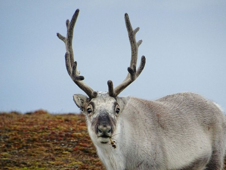 Did you know that the Svalbard reindeer is a vegetarian?