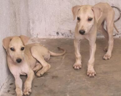 Chippiparai Dog - #traffic-club