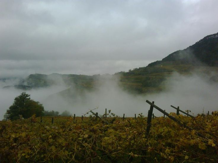 fog on the grapes