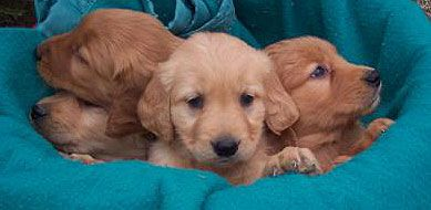 Red Golden Retriever Puppies For Saleminnesota Golden Retriever ...