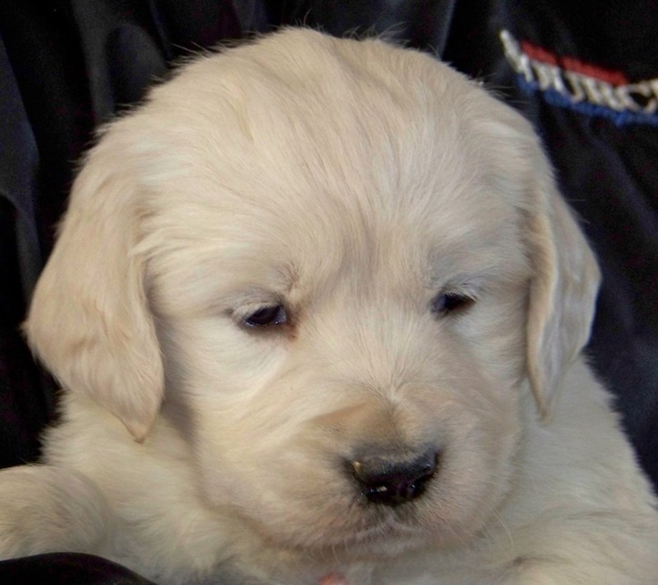 Kind of wanting one of these little Creme Golden Retrievers.