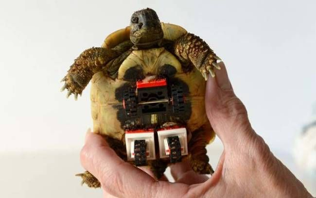 This Wounded Tortoise Gets Around A Lot Easier Now Thanks To A LEGO Creation - http://news-ninja.com/this-wounded-tortoise-gets-around-a-lot-easier-now-thanks-to-a-lego-creation/