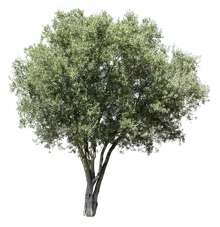 3305 x 3407 pixels PNG image, with transparent background.  Olea europaea  Olive tree; Olivier; Olivo; Oliveira.  One of the mos iconic trees in the mediteranean world. Found in the Mediterranean region, from Portugal to the Arabian Peninsula and southern Asia as far east as China. This tree is cultivated also in Argentina and California.