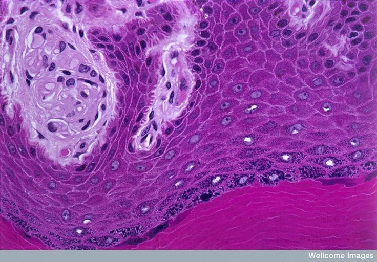 célula tronco no microscópio optico - Pesquisa Google