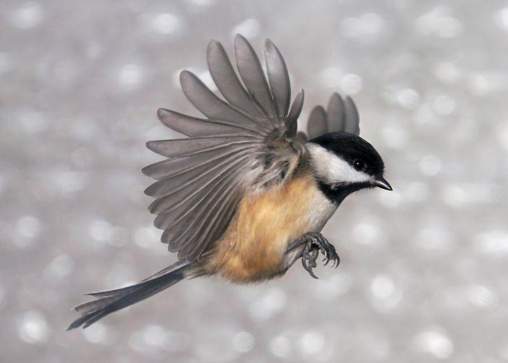 BLACK CAPPED CHICKADEE | Flying Chickadee Photograph ...