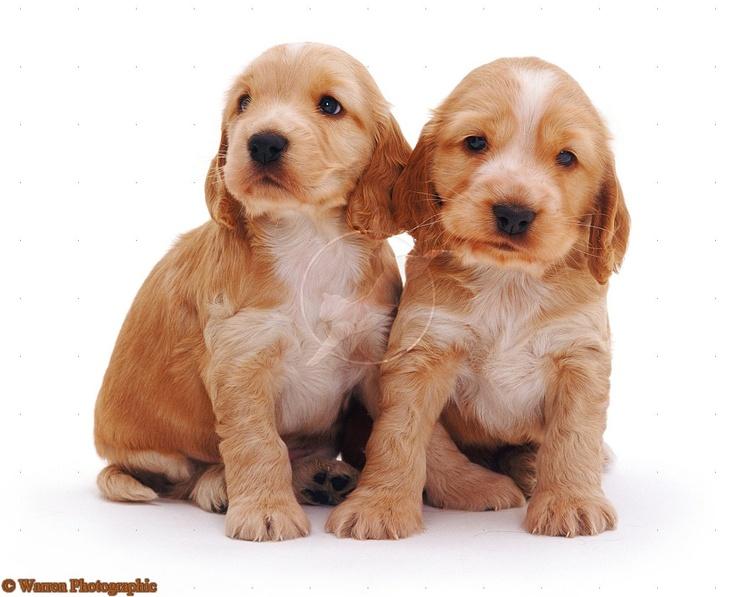 Golden Cocker Spaniel pup-pups