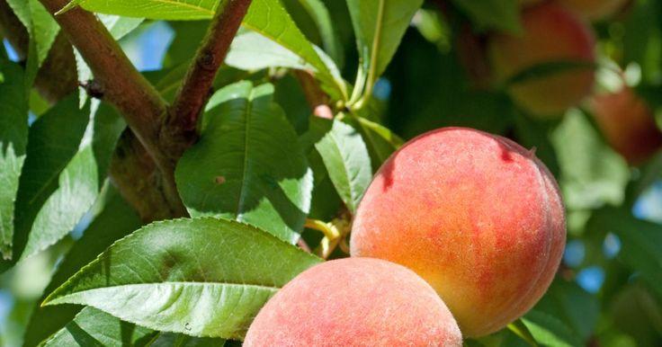 Ab Ende Juli sind die ersten Pfirsiche erntereif. Wir geben Tipps zum Anbau der edlen Früchte im Garten und nennen Sorten, die widerstandsfähig gegen die gefürchtete Kräuselkrankheit sind.
