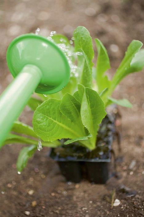 Článek - co zasadit v srpnu (Pěstování salátu není složité, vyzkoušejte to třeba i v truhlících na balkoně; hornbach)