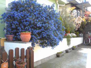 イメージ1 - セアノサスの画像 - Flowering Quince - Yahoo!ブログ