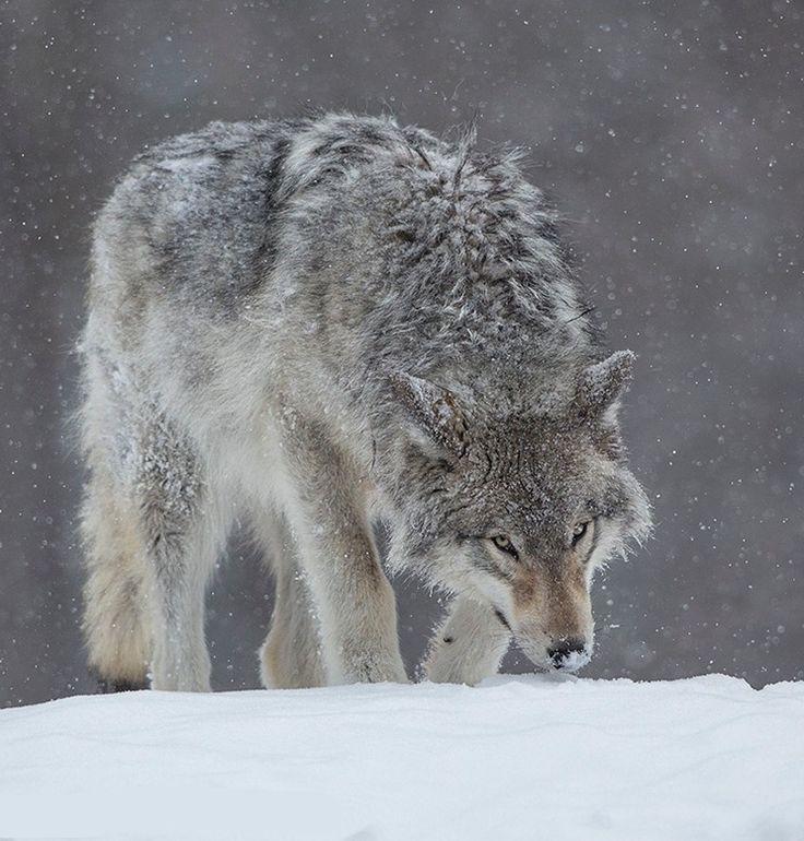 картинки страдающего волка способ увидеть чудесный