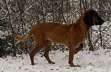 """La montaña perro bávaro (alemán = """"Bayerischer Gebirgsschweißhund"""") es una raza de perro de Alemania . Como perro del olor , se ha utilizado en Alemania desde principios del siglo 20 al paso de animales heridos. Es un cruce entre el perro bávaro y el Sabueso de Hannover ."""