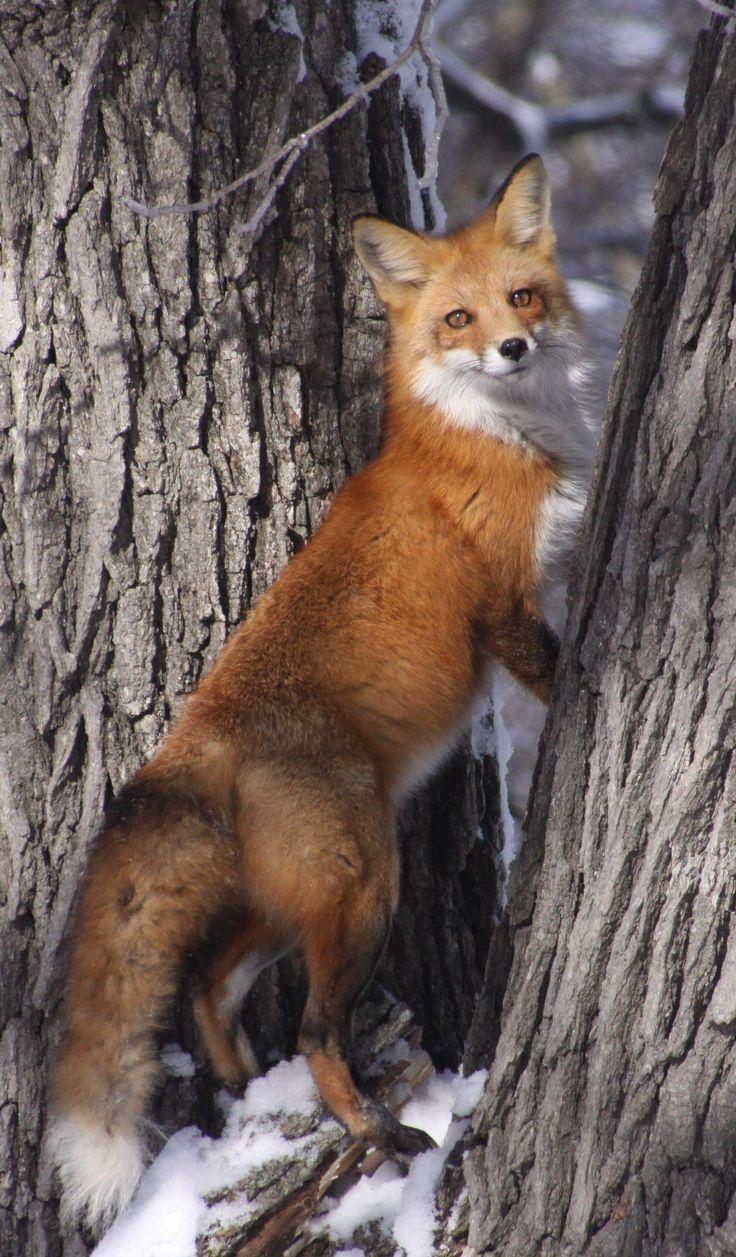Darn squirrel - red fox chasing a squirrel up tree by Nick von Ohlen