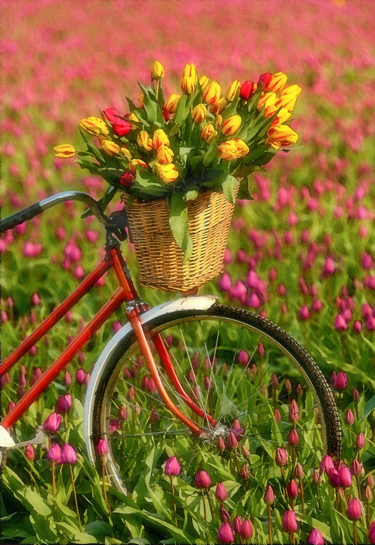 Bike With A Basket Of Tulips by E Ellis
