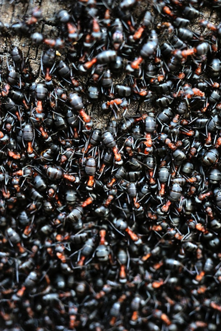Ants can save millions from earthquakes  http://www.earthtimes.org/scitech/ants-predict-earthquakes/2319/
