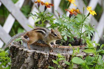 Getting Rid Of Chipmunks In Your Garden - Tip #1 Common Repellents are pureed garlic, hot peppers, or a combination of both. Steep the pureed garlic and hot peppers in 1 cup hot soapy water until the water is cool. Strain and add 1 tablespoon of oil. Shake and pour into a spray bottle. Spray this on plants you wish to keep the chipmunks from. Other chipmunk repellent suggestions include castor oil and ammonium soap.