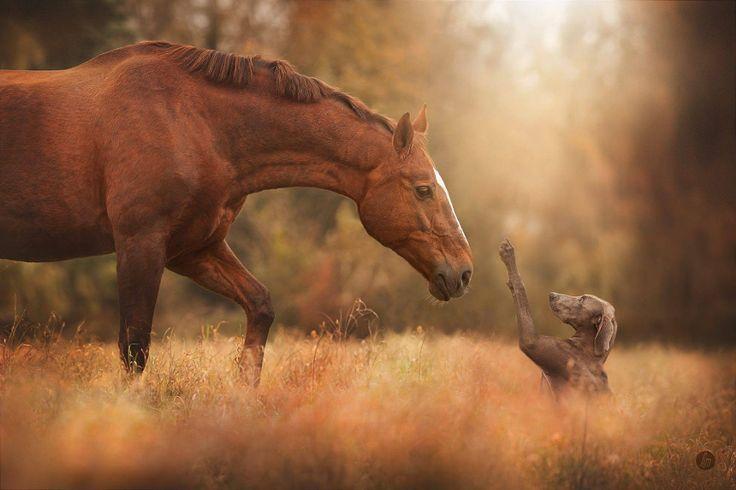 Red horse and Weimaraner meet in a sunlit meadow. Hazy atmospheric lighting. (Hannah Meinhardt)