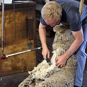 Golden Shears Sheep Shearing Festival  Masterton, New Zealand -- early March  Golden Shears - ther are three sheep for every citizen, there's got to be some kind of party involving the wooly critters. It's a four-day event where sheep shearers and wool handlers of different ilk and skill levels compete for the most glorious honor in the nation.  and world champs in Gorey, Ireland in 2014