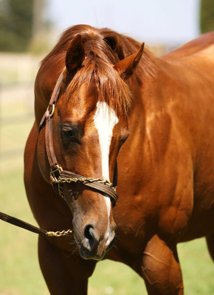 98 best images about Chestnut Horses
