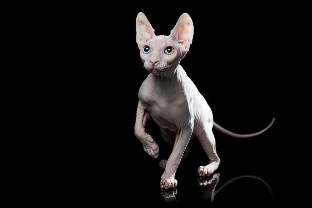 Eyed Hairless Cat