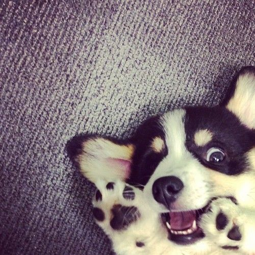 BOO!!! Adorable Pembroke Welsh Corgi puppy.