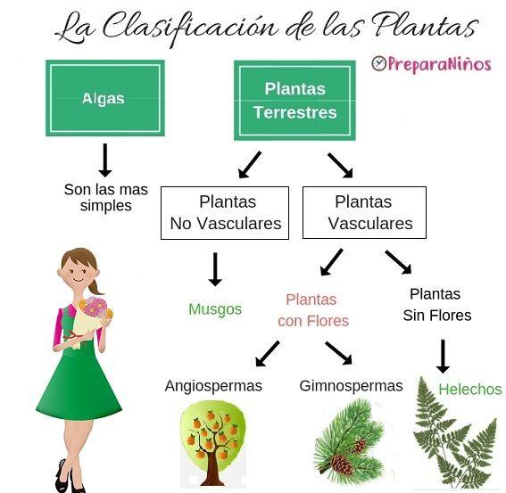 Clasificación De Las Plantas Para Primaria Clasificación De Las Plantas Fotosintesis De Las Plantas Caracteristicas De Las Plantas