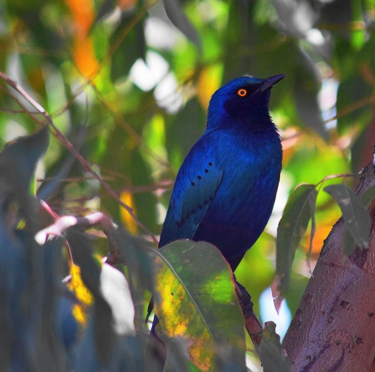 Greater Glossy Blue Starling Birds, Bird feathers, Wild