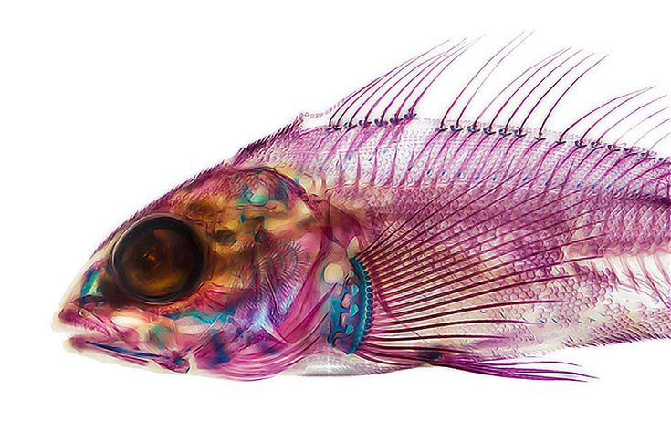Cleared, Photos of Fish That Have Been Dyed and Treated to Reveal Their Skeletons by Adam Summers