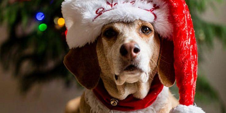 Dans quelques jours il y aura sous les sapins de milliers de familles un cadeau un peu spécial, pour le chien, le chat ou le lapin. Nos animaux sont des membres à part entière à la famille, alors ils méritent ...